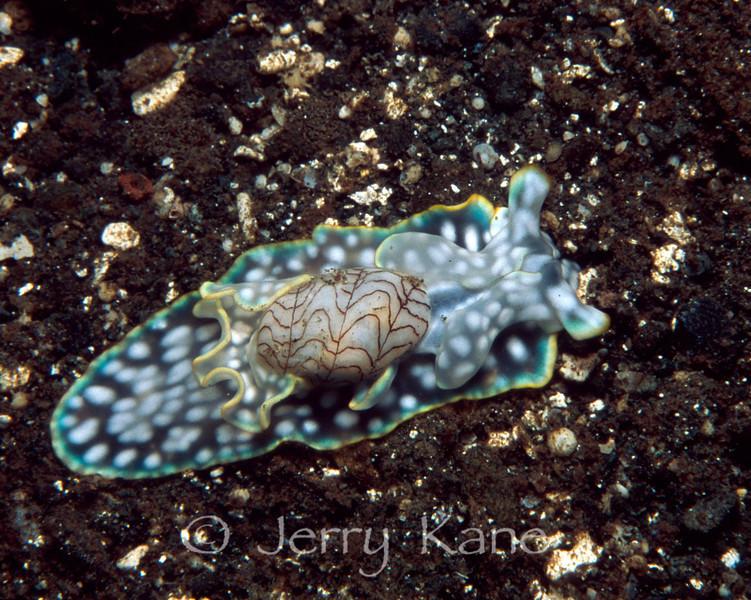 Headshield Slug (Micromelo undatus) - Milne Bay, Papua New Guinea