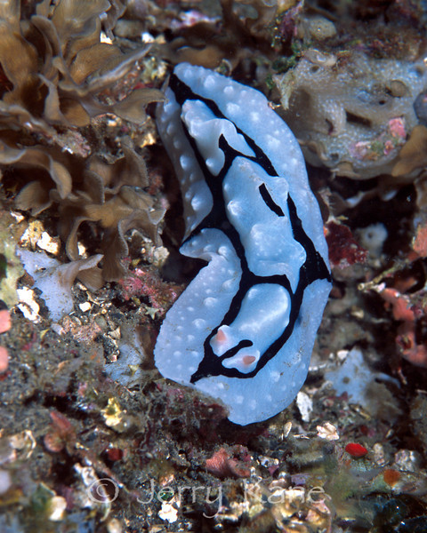 Phyllidiopsis shireenae nudibranch - Sulawesi, Indonesia