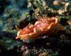 Glossodoris rufomarginata nudibranch  - Lembeh Strait, Indonesia