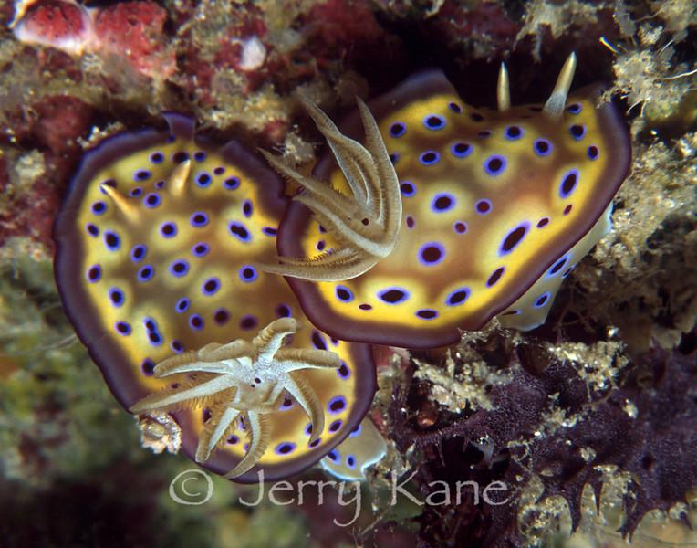 Chromodoris kuniei nudibranchs - Wakatobi, Onemobaa Island, Indonesia