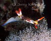 Nembrotha rutilans nudibranch - Sulawesi, Indonesia