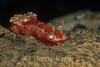 Hexabranchus sanguineus nudibranch - Milne Bay, Papua New Guinea