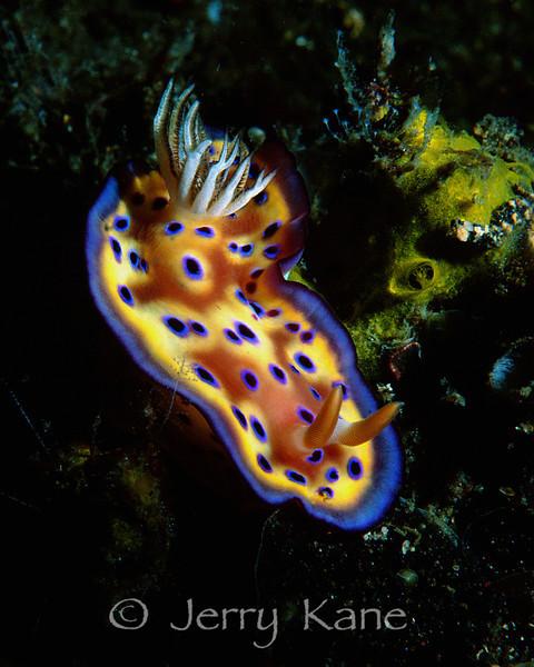 Chromodoris kuniei nudibranch - Lembeh Strait, Indonesia