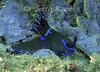 Tamja kushimotoensis nudibranch - Lembeh Strait, Indonesia