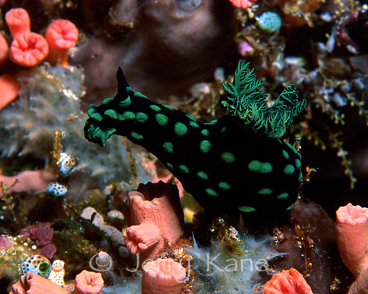 Nembrotha cristata nudibranch - Lembeh Strait, Indonesia