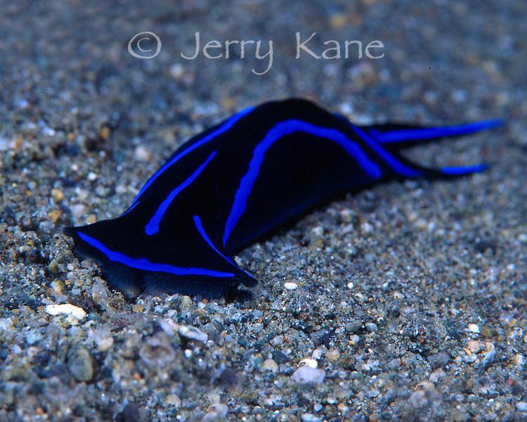 Chelidonura varians - Solomon Islands