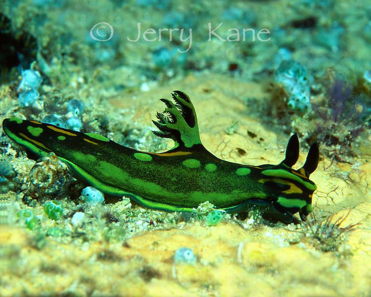 Tambja olivaria nudibranch - Solomon Islands