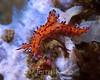 Aegires villosus nudibranch - Sulawesi, Indonesia