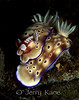 Risbecia tryoni nudibranchs with Imperial Shrimp - Milne Bay, Papua New Guinea