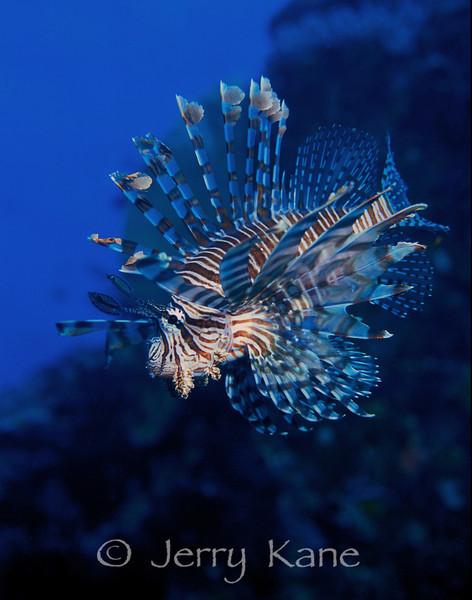 Lionfish (Pterois volitans) - Milne Bay, Papua New Guinea