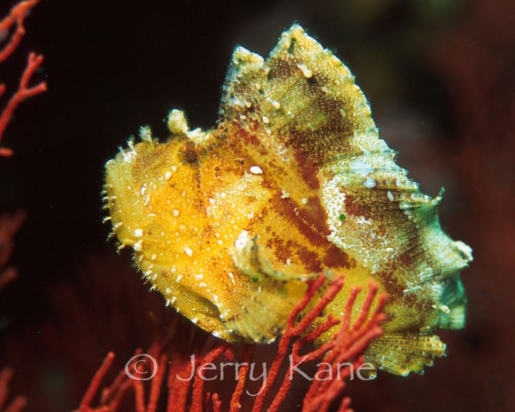 Leaf Scorpionfish (Taenianotus triacanthus) - Wakatobi, Onemobaa Island, Indonesia