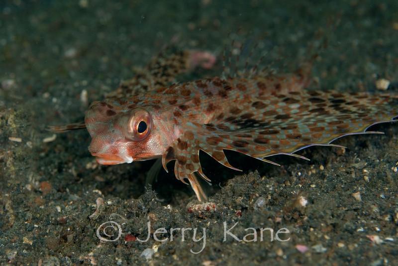 Flying Gurnard (Dactyloptena orintalis) - Lembeh Strait, Indonesia