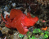 Rhinopias Frondosa  - Lembeh Strait, Indonesia