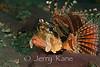 Zebra Lionfish (Dendrochirus zebra) - Lembeh Strait, Indonesia
