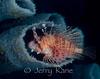 Lionfish (Pterois antennata) - Lembeh Strait, Indonesia