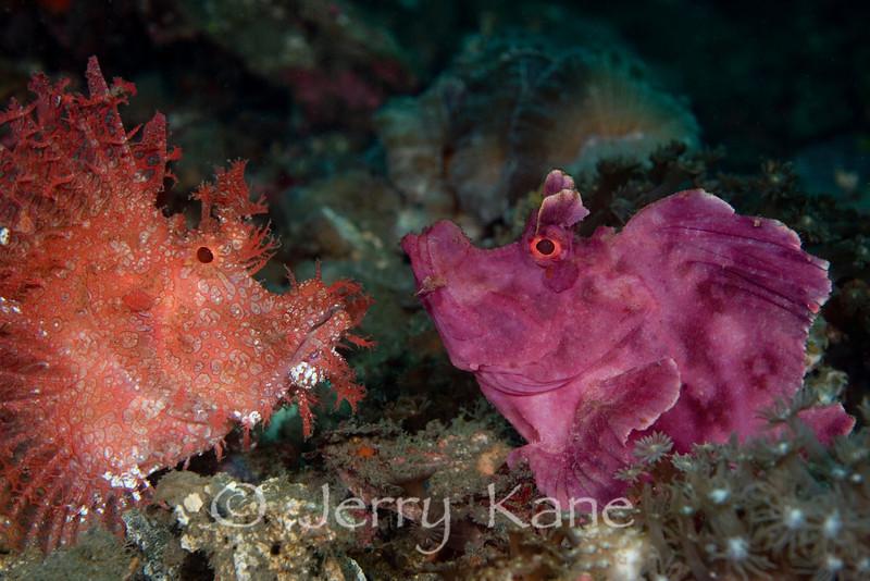 Rhinopias Aphanes & Rhinopias Frondosa - Lembeh Strait, Indonesia