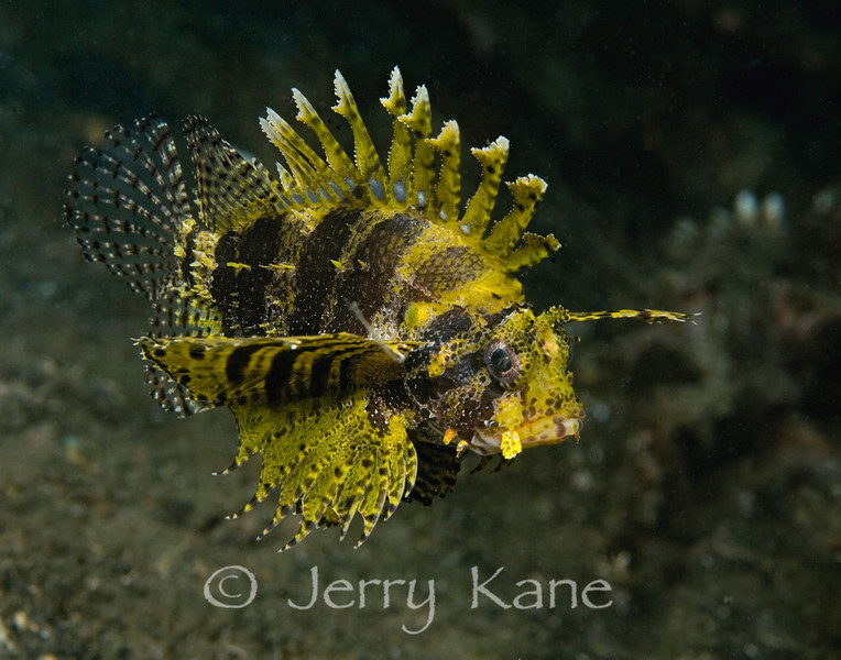 Dwarf Lionfish with uncommon yellow coloration (Dendrochirus brachypterus) - Lembeh Strait, Indonesia