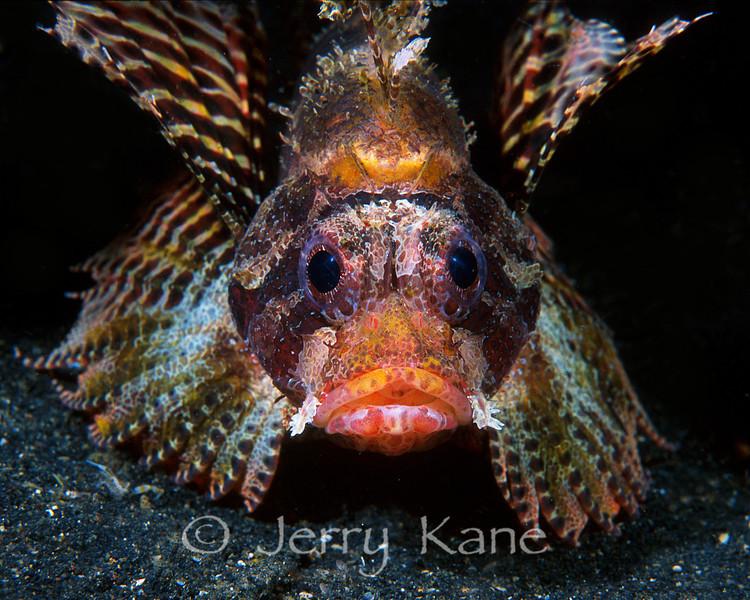 Dwarf Lionfish (Dendrochirus brachypterus)  - Lembeh Strait, Indonesia