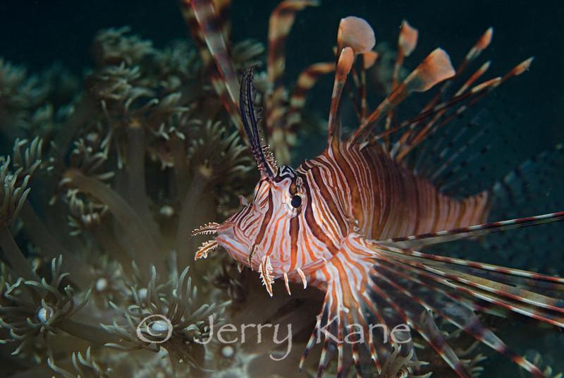 Lionfish (Pterois volitans) - Lembeh Strait, Indonesia