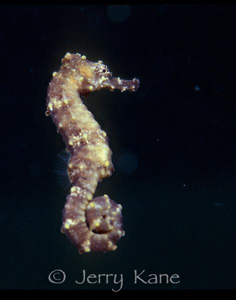 Spotted Seahorse (Hippocampus kuda) - Solomon Islands