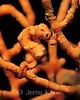 Pygmy Sea Horse (Hippocampus denise) - Wakatobi, Onemobaa Island, Indonesia