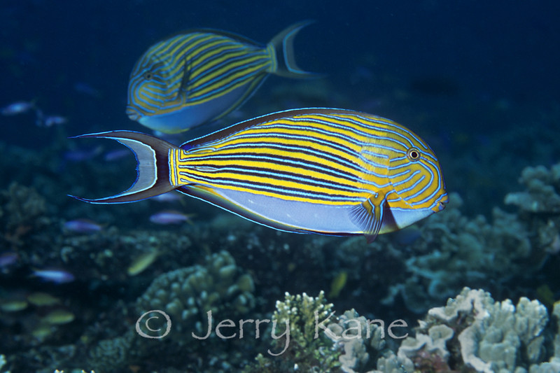 Lined Surgeonfish (Arcanthurus lineatus) - Milne Bay, Papua New Guinea