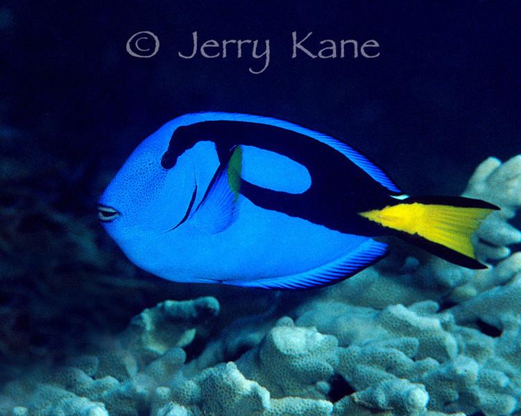 Blue Surgeonfish (Paracanthurus hepatus) - Wakatobi, Onemobaa Island, Indonesia