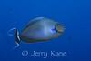 Big Nose Unicornfish (Naso vlamingii) - Milne Bay, Papua New Guinea