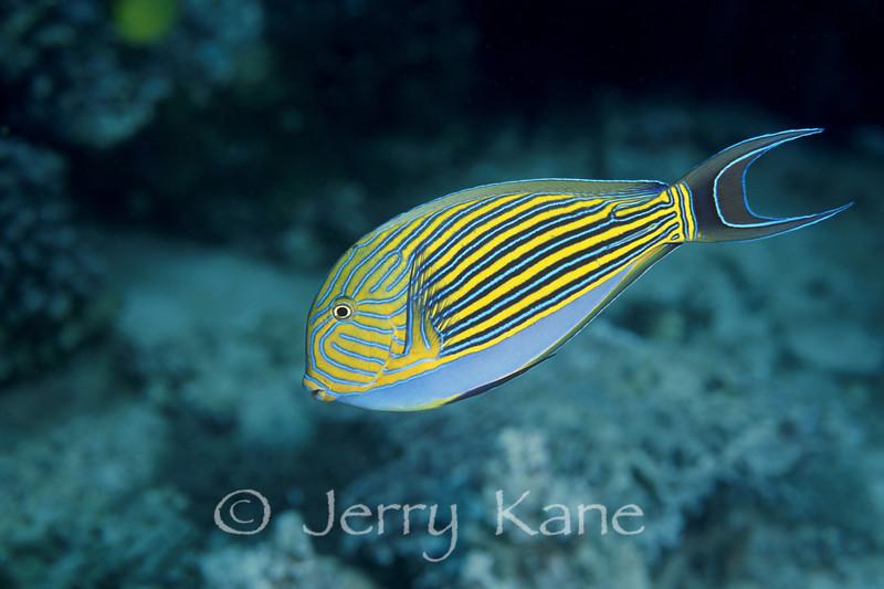Lined Surgeonfish (Arcanthurus lineatus) - Milne Bay, Papua New Guinea