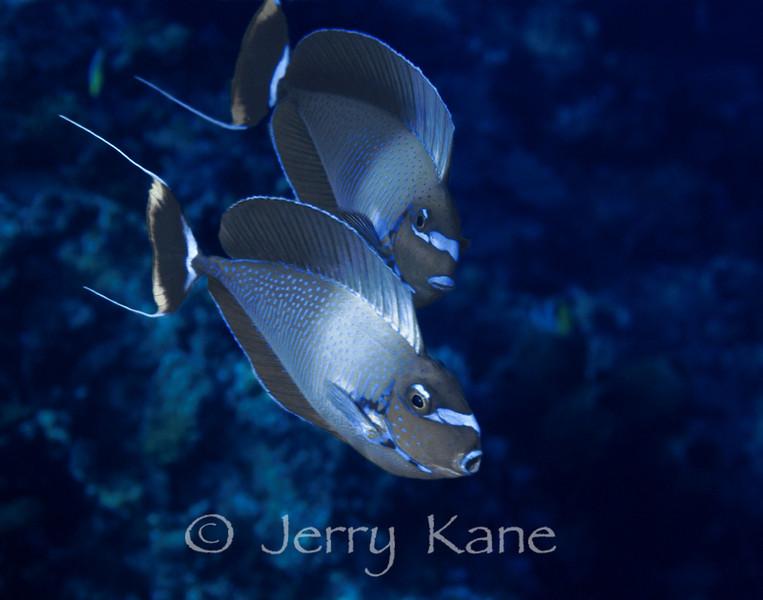 Bignose Unicornfish (Naso vlamingii) - Manado, Indonesia