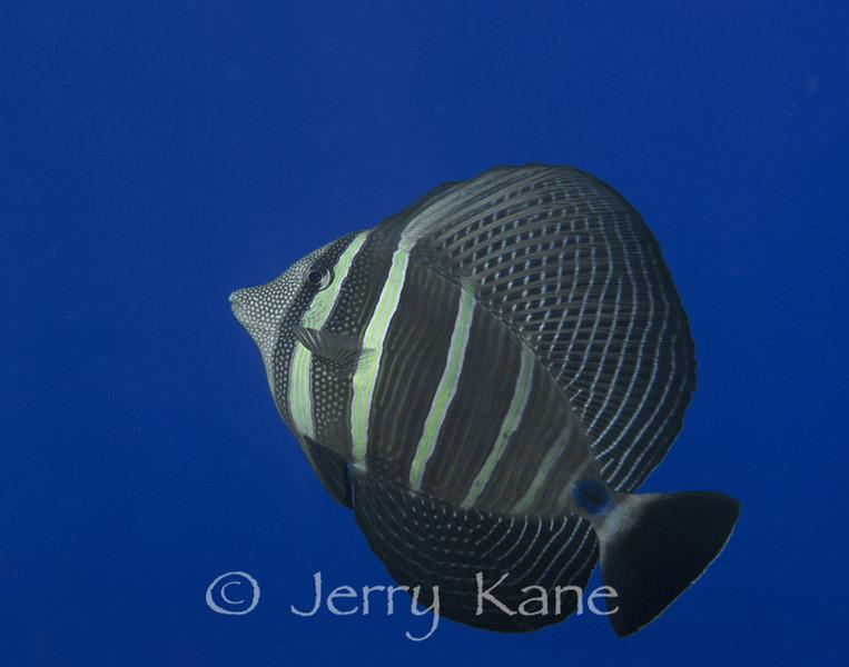 Sailfin Surgeonfish (Zebrasoma veliferum) - Milne Bay, Papua New Guinea