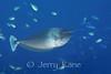 Paletail Unicornfish (Naso brevirostris) - Milne Bay, Papua New Guinea