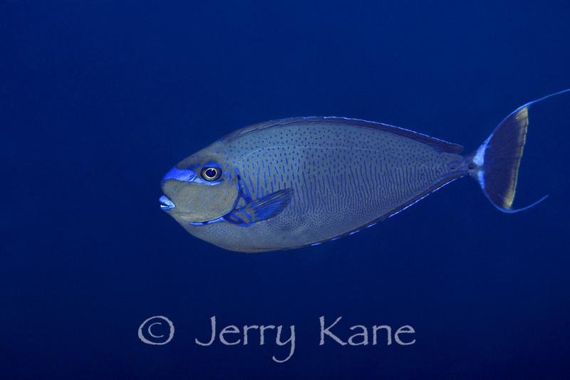 Big Nose Unicornfish (Naso vlamingii) - Wakatobi, Onemobaa Island, Indonesia