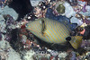 Striped Triggerfish (Balistapus undulatus) - Solomon Islands
