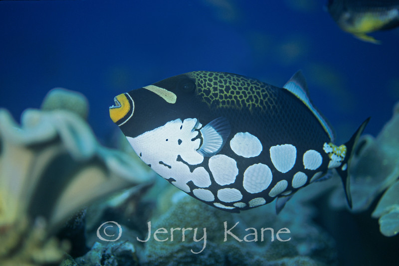 Clown Triggerfish (Balistoides conspicillum) - Milne Bay, Papua New Guinea