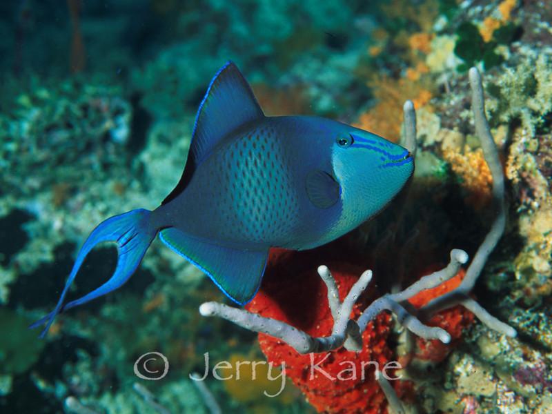 Blue Triggerfish (Odonus niger) - Wakatobi, Onemobaa Island, Indonesia