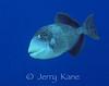 Titan Triggerfish (Balistoides viridescens) - Lembeh Strait, Indonesia