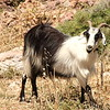 Another goat!  This one seemed cleaner.