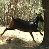 Goat scampering off into the forest!