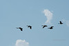 Canada Geese flying over the Colorado River