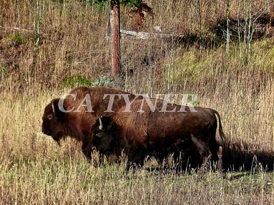 Yiellowstone NP Buffalo Wyoming 2