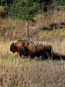 Yiellowstone NP Buffalo Wyoming