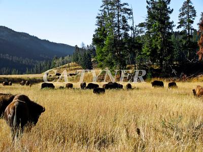 Yiellowstone NP Buffalo Wyoming 4