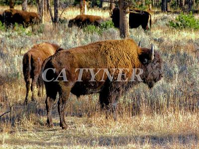 Yiellowstone NP Buffalo Wyoming 3