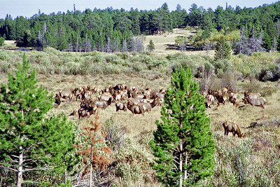 American Elk (Wapiti) herd, Sheep Lake/West Horseshoe Park area, Rocky Mountain National Park, Colorado