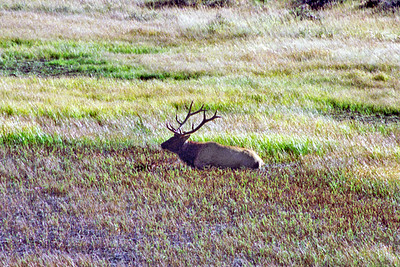 Bull American Elk (Wapiti), Sheep Lake/Mountain Meadows area, Rocky Mountain National Park, Colorado