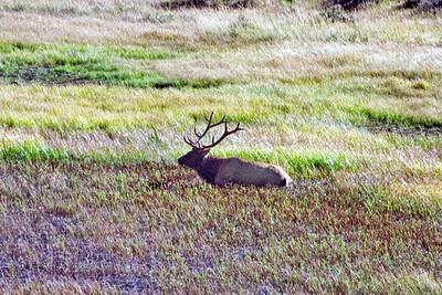 Bull American Elk (Wapiti), Sheep Lake/Mountain Meadows area, Rocky Mountain National Park, Colorado