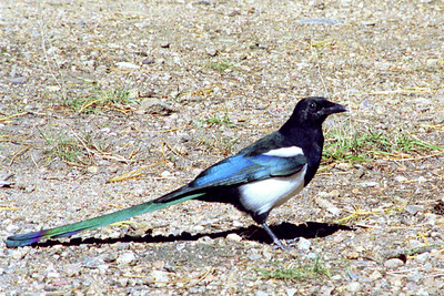 Magpie, Rocky Mountain National Park, Colorado