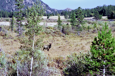 Bull American Elk (Wapiti), West Horseshoe Park area, Rocky Mountain National Park, Colorado