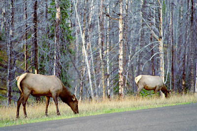 American Elk on road to Old Faithful Inn, Yellowstone National Park